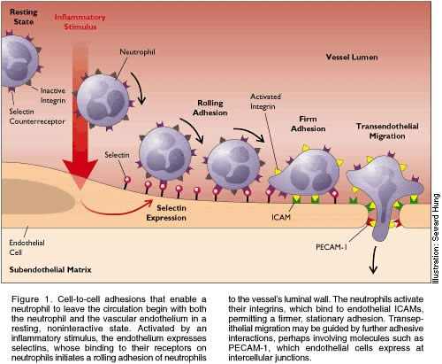 Leukocyte Adhesion Process...